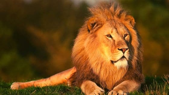 Profli de l'animal Lion / Laurie Audibert / Coach Holistique pour Entrepreneuses Spirituelles